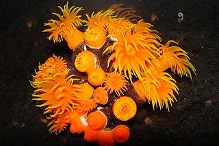 <i>Tubastraea</i> genus of cnidarians