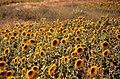 Sunflower field, Alentejo (43776504445).jpg