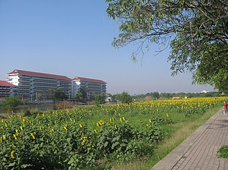 Lat Phrao District - Sunflower field, the only one in Bangkok, behind Satriwitthaya 2 School