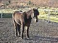 Super Cute Icelandic Horse (8095376221).jpg