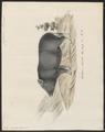 Sus scrofa domestica - 1700-1880 - Print - Iconographia Zoologica - Special Collections University of Amsterdam - UBA01 IZ21900141.tif