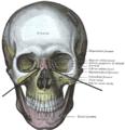 Suturanasomaxillaris.PNG