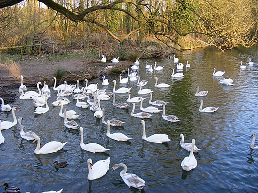 Swans on River Stour at Brundon - geograph.org.uk - 1764904