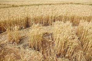 Crop circle - Detail of a crop circle in a field in Switzerland