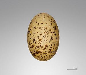 Pallas's sandgrouse - Syrrhaptes paradoxus