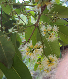 Syzygium cumini flower and buds.jpg