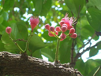 Cauliflory - Flowers growing from the hard and woody horizontal stem of a Syzygium moorei, Australia