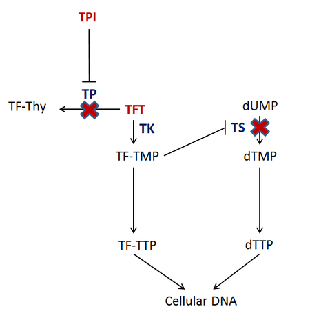 TAS-102 - Fluridine and Tipiracil Mechanism of Action.png