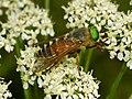 Tabanidae - Philipomyia aprica.-1.JPG