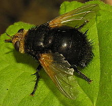 Tachina grossa.2006-08-18.jpg
