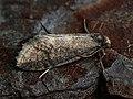 Taleporia tubulosa ♂ - Large birch bright (male) (42086131055).jpg