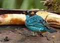 Tangara ruficervix (Tángara diadema) - Flickr - Alejandro Bayer.jpg