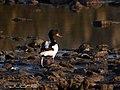Tarro blanco, (Todorna todorna.) (4140918502).jpg