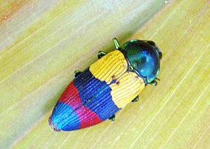 Buprestidae - Temognatha alternata, a Buprestinae 2.6cm long from Cooktown, Australia