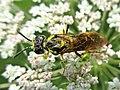 Tenthredo notha (Tenthredinidae) - (imago), Arnhem, the Netherlands.jpg