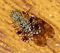 Tephritidae (fruit fly). Tephritis neesii or T. matricariae ? (33566052406).jpg