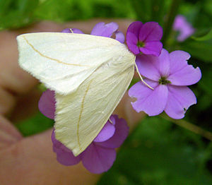 Geometer moth - Tetracis cachexiata (Ohio)