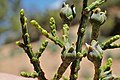 Tetraclinis articulata kz44 Morocco.jpg
