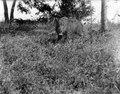 Text, Neg.nr 13712 Bild nr, 21714 Kaudern (vildsvin). Madagaskar - SMVK - 021714.tif