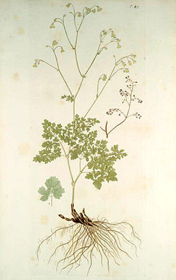 Kleine Wiesenraute (Thalictrum minus), Illustration.