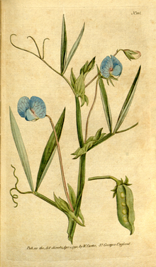 The Botanical Magazine, Plate 115 (Volume 4, 1791).png