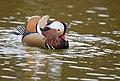 The Mandarin Duck of St. Ferdinand Park (45767789961).jpg