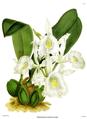 The Orchid Album-01-0044-0014-Trichopilia suavis alba.png