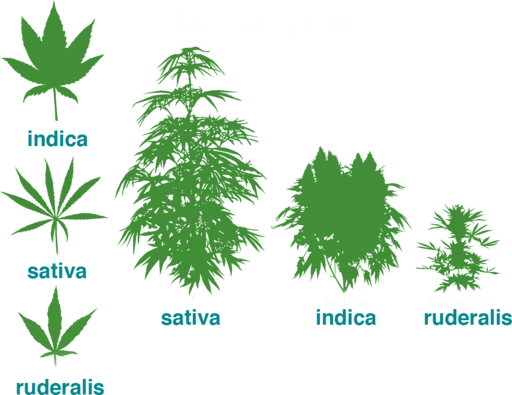 The Three Cultivars of the Cannabis Plant