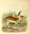 The book of antelopes (1894) Gazella bennetti.png
