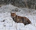 "The fox is enjoying the snow at ""Oud Reemst"". Supertelezoom from my son 3 years ago. We saw here as well one, but further away. - panoramio.jpg"