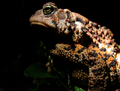 The most spectacular toad of the year. (6187495366).png