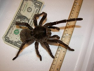 Adult Goliath tarantula