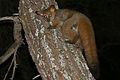 Thick-tailed Bushbaby (Otolemur crassicaudatus) (17322632725).jpg