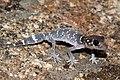 Thick-tailed Gecko (Underwoodisaurus milii) (8636512143).jpg