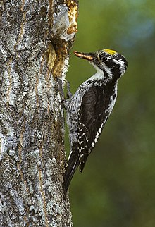 Eurasian Three Toed Woodpecker Wikipedia