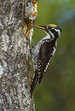Three-toed Woodpecker - Finlandia 0005 (3).jpg