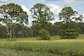 Three shapely trees in oilseed rape field - geograph.org.uk - 443376.jpg