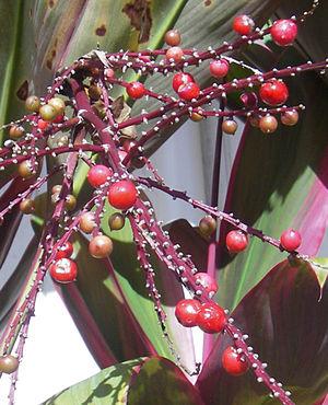 Cordyline fruticosa - Image: Tiberries