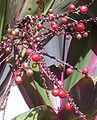 Tiberries.jpg