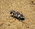 Tiger Beetle. Cicindela hybrida albanica (30948486848).jpg