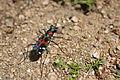 Tiger beetle (8734500471).jpg