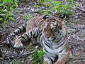 Tiger in Bannerghata Wildlife Sanctuary,Bangalore,India.jpg