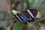 Tiger moth (Hypocrita drucei).jpg