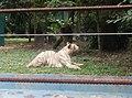 Tigers in Zoo Negara Malaysia (17).jpg