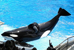 Tilikum (orca) - Tilikum during a 2009 performance at SeaWorld