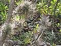 Tillandsia air plants growing on a tree at Peña de Bernal.jpg