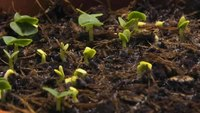 దస్త్రం:Timelapse-Basil-growing.ogv