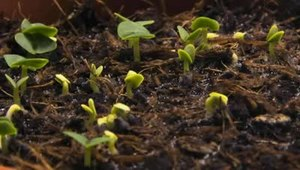 File:Timelapse-Basil-growing.ogv