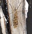Tipula rufina (33751644326).jpg