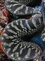Tissue - Giant clam black&white komodo (cropped).jpg